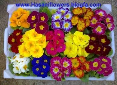 پاورپوینت گلهای نشایی ( کشت و کار)