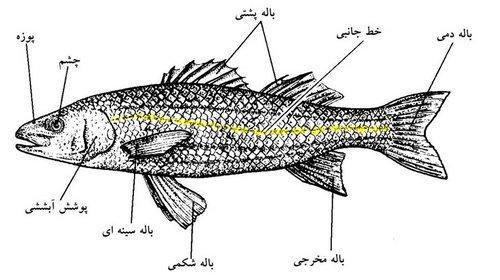 نقش و چگونگی عمل انواع باله در ماهی ها (به همراه انواع باله ها) - word